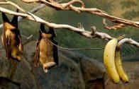 ค้างคาวกินกล้วย
